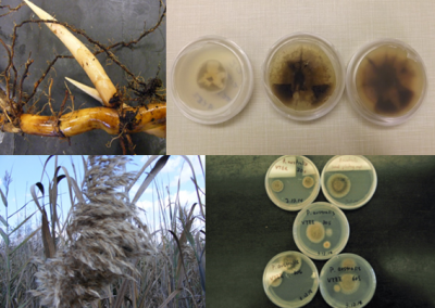 Fig 2: Phragmites rhizomes (top left) and seeds (bottom left) and the fungal endophytes cultured from each plant part (right). Plants were collected by researchers at the GLSC and cultures performed by Indiana University. IU researchers will later inoculate Phragmites plants with individual endophyte species to assess the roles played by each type.