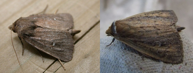 Photos of the twin-spotted wainscot (Archanara geminipuncta) and white-mantled wainscot (Archanara neurica), two moths being considered for Phragmites biocontrol.